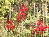 夢松園:珊瑚刺桐