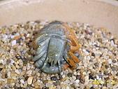 小葉收藏品:寄居蟹