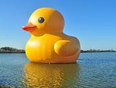 新屋地景藝術節-黃色小鴨:黃色小鴨11/08復活-