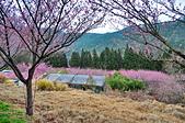 武陵農場-粉紅佳人(櫻花):