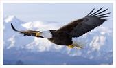 重點:soaring-eagle.jpg