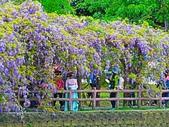 2018.03.31 大湖紀念公園-紫藤:IMG_2544.JPG
