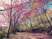2018.03.03 萬里山園-櫻花:IMG_1183.JPG