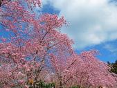 20200215恩愛農場富士櫻:ice_2020-02-16-07-11-56-140.jpg
