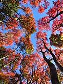 2016.12.25 稍來山紅榨槭:IMG_2305.jpg