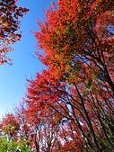 2016.12.25 稍來山紅榨槭:IMG_2567.jpg