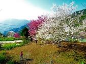 2018.03.03 萬里山園-櫻花:IMG_0714_1.jpg