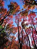 2016.12.25 稍來山紅榨槭:IMG_2534.jpg