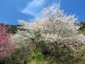 2018.03.03 萬里山園-櫻花:IMG_2006.JPG