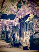 2017.04.08 武陵農場-紫藤:IMG_3907.jpg
