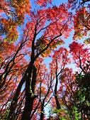 2016.12.25 稍來山紅榨槭:IMG_2309.jpg
