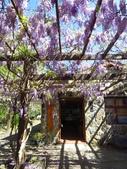 2017.04.08 武陵農場-紫藤:IMG_3383.jpg