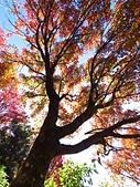 2016.12.25 稍來山紅榨槭:IMG_2190.jpg