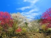 2018.03.03 萬里山園-櫻花:IMG_1645.JPG