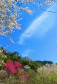 2018.03.03 萬里山園-櫻花:IMG_1941_1.jpg