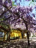 2017.04.08 武陵農場-紫藤:IMG_3414.jpg