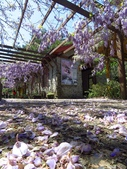 2017.04.08 武陵農場-紫藤:IMG_3945.jpg