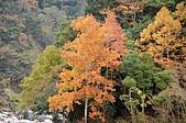司馬庫斯冬之美:塔克金溪畔燦爛耀眼的林木--15