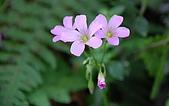 九份金瓜石之旅:太子賓館紫花酢漿草