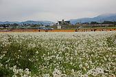 97年新社花海:白色波斯菊