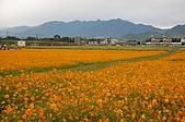 97年新社花海:黃色波斯菊