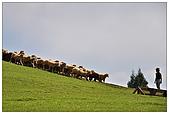 清境農場*合歡山:趕羊秀