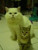 很瘦小的可愛小母貓:1864089721.jpg
