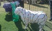 西澳。Northampton:4 鈕扣羊.jpg