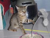 很瘦小的可愛小母貓:1864089705.jpg
