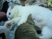 很瘦小的可愛小母貓:1864089708.jpg