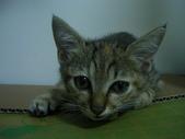 很瘦小的可愛小母貓:1864089709.jpg