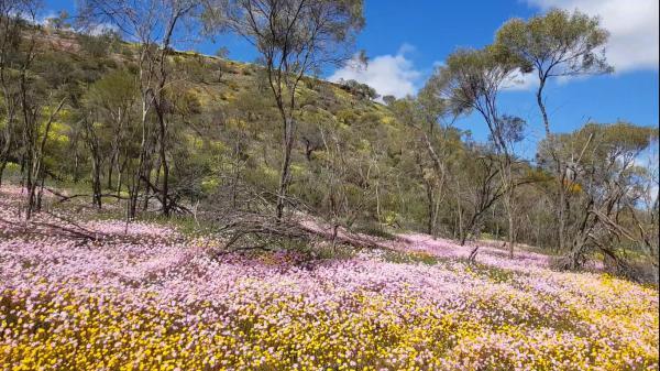 2018 西澳野花季:Flower Mat 2 一地的粉紅令人有置身童話故事的感覺.jpg