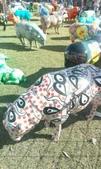 西澳。Northampton:5 原住民羊.jpg