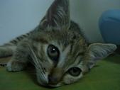 很瘦小的可愛小母貓:1864089710.jpg
