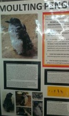 西澳。Rockingham。Penguin Island:Moulting=換毛,換毛期的企鵝勿擾.jpg