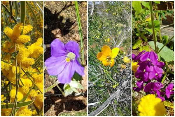 2018 西澳野花季:12 其他花種(黃色皆長在樹上).jpg
