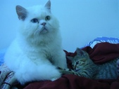 很瘦小的可愛小母貓:1864089711.jpg