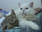 很瘦小的可愛小母貓:1864089712.jpg