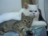 很瘦小的可愛小母貓:1864089713.jpg