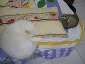 很瘦小的可愛小母貓:1864089714.jpg