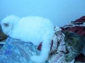 很瘦小的可愛小母貓:1864089715.jpg