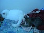 很瘦小的可愛小母貓:1864089716.jpg