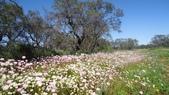 2018 西澳野花季:1 粉的、白的、滿地的Everlasting.JPG