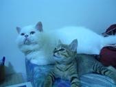 很瘦小的可愛小母貓:1864089717.jpg