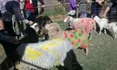 西澳。Northampton:2 為了響應裝飾彩繪羊的主題,真羊身上也被抹上不同的色彩.jpg
