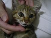 很瘦小的可愛小母貓:1864089695.jpg
