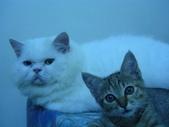很瘦小的可愛小母貓:1864089718.jpg