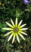 2018 西澳野花季:這種黃花隨處可見,但能綻放得如此美麗,僅你一朵.jpg