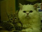 很瘦小的可愛小母貓:1864089719.jpg