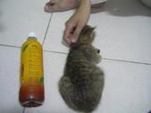 很瘦小的可愛小母貓:1864089697.jpg